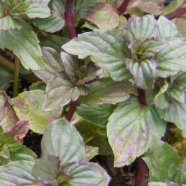 Mint 'After Eight': Mentha x piperata 'After Eight'