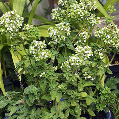 Oregano 'Hot and Spicy': Oreganum vulgare 'Hot and Spicy'