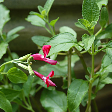 Blackcurrant Sage: Salvia microphylla