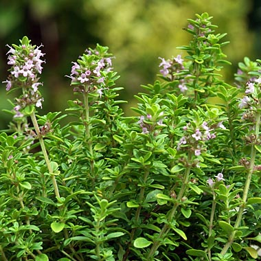 Thyme 'Archers Gold': Thymus x citriodorus 'Archers Gold'