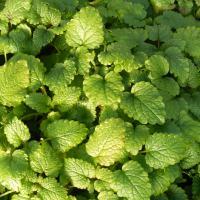 Manor Farm Herbs: Unusual herbs