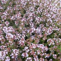 Orange thyme: Thymus fragrantissimus