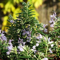 Prostrate or Creeping Rosemary: Rosmarinus officinalis Prostratus group