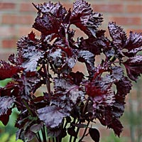 shiso_purple, click to view.