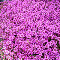 Creeping red thyme: Thymus serpyllum 'Coccineus'